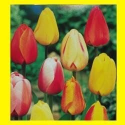 20 Mixed Darwin Tulip Bulbs