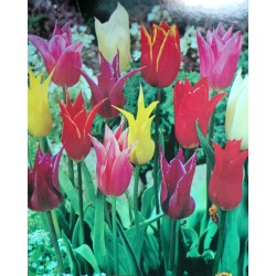 20 Mixed Lily Flowering Tulip Bulbs