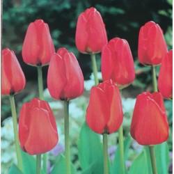 20 Darwin Tulips Apeldoorn Red