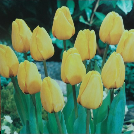 250 Darwin Tulips Golden Apeldoorn Yellow