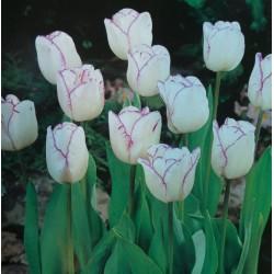 Triumph Tulips Shirley White / Purple