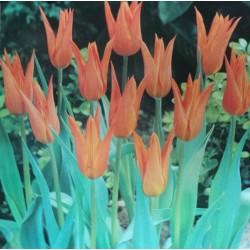 Lily Flowering Tulips Ballerina Orange Flower