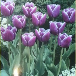 Triumph Tulips Arabian Mystery Purple / White