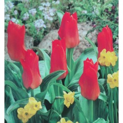 250 Lady Diana Greigii Miniature Tulips Red With Pale Yelllow