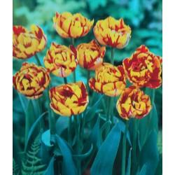 250 Golden Nizza Double Tulips Yellow