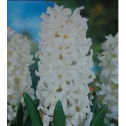 25 Carnegie Hyacinths White Flower