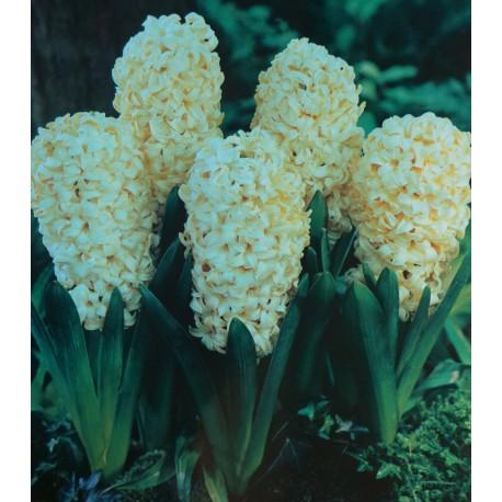 25 City Of Haarlem Hyacinths Yellow Flower