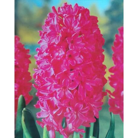 5 Jan Bos Hyacinths Pink Flower