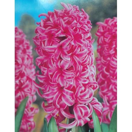 25 Jan Bos Hyacinths Pink Flower