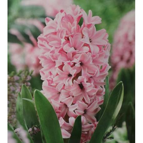 5 Pink Pearl Hyacinths Pink Flower