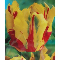 Texas Flame Parrot Tulips Yellow & Red Tulips Spring Flowering