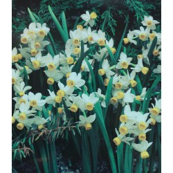 50 Canaliculatus Narcissi Bulbs (Daffodils) Spring Flowering