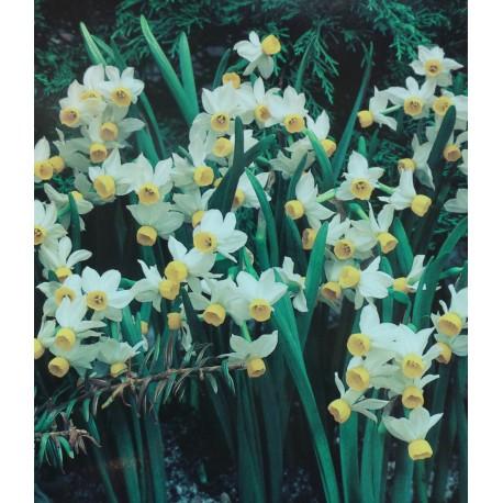50 Canaliculatus Narcissi Bulbs (Daffodils) Spring Flowering