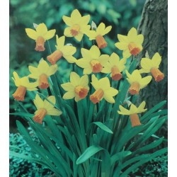 100 Jefire Narcissi Bulbs (Daffodils) Spring Flowering