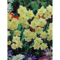 100 Minnow Narcissi Bulbs (Daffodils) Spring Flowering