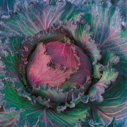 King Seeds cabbage
