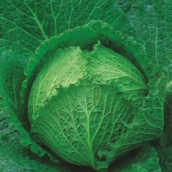 King Seeds Cabbage Tundra F1 Seeds